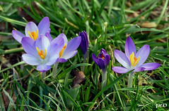 Vorfrühling...(2) (peterphot) Tags: krokusse garten wiese februar2019 leica sachsen
