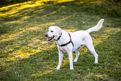 Dog Park (Thomas Hawk) Tags: america seattle usa unitedstates unitedstatesofamerica washington washingtonstate dog lab labrador fav10