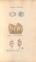 n48_w1150 (BioDivLibrary) Tags: greatbritain mollusks museumsvictoria bhl:page=57640219 dc:identifier=httpsbiodiversitylibraryorgpage57640219 conchologicaldictionary conchology shells britishisles britishislands williamturton british
