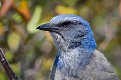 Florida Scrub-Jay (jt893x) Tags: 150600mm aphelocomacoerulescens bird d500 floridascrubjay jay jt893x nikon nikond500 portrait scrubjay sigma sigma150600mmf563dgoshsms songbird alittlebeauty coth thesunshinegroup sunrays5 coth5