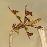 lady Eastern amberwing (Perithemis tenera) thumbnail