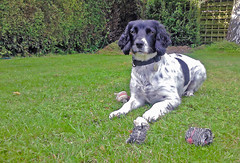 Ready to play. (tonyrolls) Tags: watching play ready dog springer spaniel