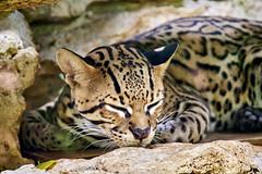 Ocelote (Crüshö) Tags: mexico cancun rivieramaya ocelote felino crococun puertomorelos cat travelophoto travelphotography travelofoto