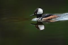 A Favorite Duck (Patricia Ware) Tags: aca arcadia california canon ef400mmf4doisiiusmlens handheld hoodedmerganser lophodytescucullatus male ©2019patriciawareallrightsreserved unitedstatesofamerica us specanimal sunrays5