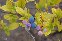 Лохина щиткова (ucrainis) Tags: blueberry berry nature leaves close macro berries