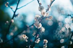 The Sun is Coming (moaan) Tags: kobe hyogo japan jp ume umeblossom japaneseapricot sun susnlight pouringsunlight backlight blossoms blossoming inbloom bokeh photography dof leica leicamp summicron50mmf20dr leicasummicron50mmf20dr 50mm f20 utata 2019