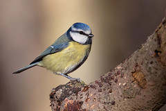 Blue Tit (Alex Perry Wildlife Photography) Tags: bluetit tit bird birdphotography cyanistes cyanistescaeruleus paridae wildlifephotography alexperry alexperryphotography bleanwoods kent