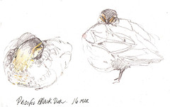 16Mar2019 Pacific Black Duck (alissa duke) Tags: fitzroygardens