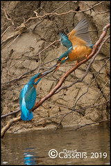 Fish pass AF7O0518 (David E Cassells) Tags: king fisher kingfisher commonkingfisher alcedoatthis eurasiankingfisher fish bird eurasian nature photography canon1dx canonef300mmf28lisiiusm northern ireland alcedo atthis animal