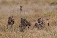Family Lunch (Hector16) Tags: africa matthewsmountains kenya samburuculture samburunationalpark sarara samburu easternprovince ke