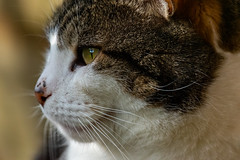 Meow (Mikon Walters) Tags: cat kitty close up macro kitten white black brown hair fur furry fluffy animal animals creature living things nature wildlife wild life nikon d5600 sigma 150600mm contemporary super zoom lens photography 600mm pet garden outdoors