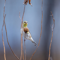 Goldfinch on Monarda-49946.jpg (Mully410 * Images) Tags: birdwatching birding beebalm feeding backyard bird birds finch seeds monarda goldfinch birder wildflowers