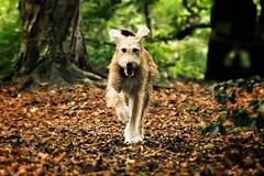 Lenny (Japo García) Tags: dog run forest woods autunm goofy japophoto