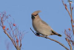 Waxwing @ Hednesford, Staffordshire (Mick Erwin) Tags: rowan nikon afs 600mm f4e fl ed vr lens tc14e teleconverter iii d850 mick erwin stoke trent staffordshire wildlife nature waxwing hednesford tree sky bird
