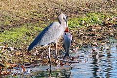 ... too big (Jim Atkins Sr) Tags: heron greatblueheron fairfieldharbour northcarolina ardeaherodias lake olympus olympuspenepm2