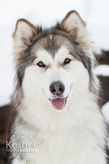 Picture of the Day (Keshet Kennels & Rescue) Tags: adoption dog ottawa ontario canada keshet large breed dogs animal animals pet pets field nature photography winter snow husky sit pose alaskan malamute smile furry fuzzy happy
