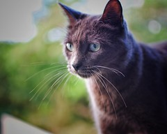 Whiskers (Mister Blur) Tags: cat whiskers portrait blue russian chat gato bokeh shallow depthoffield profundidaddecampo distanciafocal enfoque selectivo house hogar home happy furry friday littledoglaughedstories