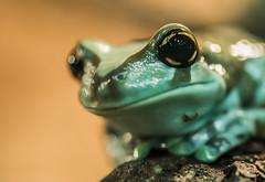 Trachycephalus resinifictrix (The Cuman) Tags: nikon nikond610 sigma sigma105mmf28exdgoshsm werner animalplanet animal frog goldeneye amphibian color
