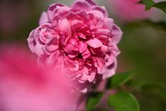 Rose 'Mother Teresa' raised in UK (naruo0720) Tags: rose englishrose britishrose motherteresa englishrosescollection バラ イギリスのバラ ブリティッシュローズ マザーテレサ イギリスのバラコレクション nikonscamera sigmalenses d810 sigma105mmf28exdgoshsm