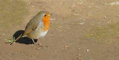 OLOT - PARC NOU - PIT-ROIG (Joan Biarnés) Tags: olot garrotxa girona catalunya 291 panasonicfz1000 pitroig erithacusrubecula ocell pájaro parcnou