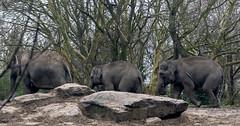 Olifanten-polonaise (ComBron) Tags: olifant polonaise dumbo blijdorp diergaarde rotterdam elefant olifanten elephant éléphant elefanter