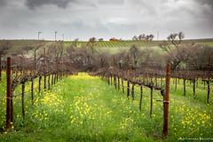 "Carneros Vineyard (tom911r7) Tags: travellandscape ""napavalley"" napa wine winecountry ""tombrichta"""