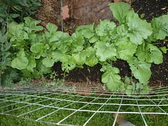 P1080937 (LPompey) Tags: garden strawbale strawbalegarden turnips amaranth sugarsnappeas gardening