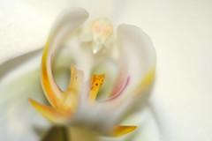 Softness (sarkanymacska) Tags: fujixt20 biotar 2 58 orchid soft lágyság fehér tél winter