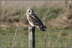 Short-eared Owl (Full Moon Images) Tags: wicken fen burwell nt national trust wildlife nature reserve cambridgeshire bird birdofprey shorteared owl
