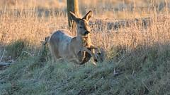 Roe Deer (image 2 of 3) (Full Moon Images) Tags: wicken fen burwell nt national trust wildlife nature reserve cambridgeshire animal mammal running roe deer