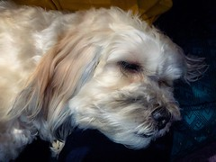Picture Perfect (PEEJ0E) Tags: rusty maltese dog mutt closeup face sleeping rescue handsome cute pup pet morning cuddles