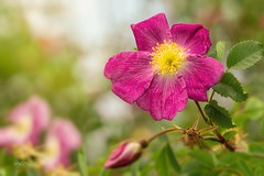 Flower Power (THW-Berlin) Tags: plants flowers nature grenn pink yellow summer spring sony blossom alpha6500 70300mm