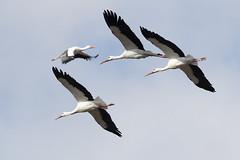 0286-2019-BR (elfer) Tags: madrid parqueregionaldelsureste 06naturaleza aves cigüeñas velilladesanantonio españa