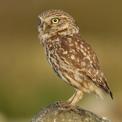 Little owl (waynehavenhand1) Tags: canon wildlifephotography naturephotography naturesfinest athenenoctua northumberland raptor nature wild wildlife bird littleowl owl