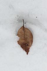 Leaf (historygradguy (jobhunting)) Tags: easton ny newyork upstate washingtoncounty leaf winter snow