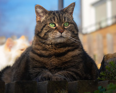 Photobombed by a Dragon (FocusPocus Photography) Tags: cleo katze cat tabby tier animal haustier pet photobombed
