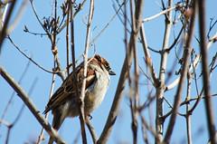 Perched High DSN_2108 (iloleo) Tags: bird nature sparrow nikond7000 garden toronto winter