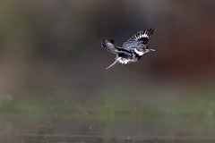 The King Flies!!! (Patricia Ware) Tags: 500mmf4lisusm ballonawetlands beltedkingfisher california canon canonef500mmf4lisusmlens canoneos1dmarkiv handheld male megacerylealcyon playadelrey ©2014patriciawareallrightsreserved specanimal
