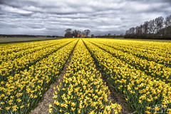 Today it is.. Yellow! (fransvansteijn) Tags: rood daffodils