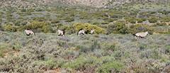 Blesbok (Charles Stirton) Tags: animals antelope blesbok