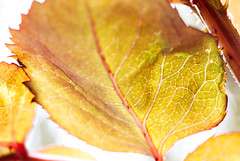 Macro Mondays - looking up through the leaves (alisonhalliday) Tags: macromondays lookup canon eos 77d sigma105mm leaves nature macro