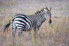 Plains Zebra (helenehoffman) Tags: africa zebra equidae commonzebra conservationstatusnearthreatened mammal equusquagga foal animal amboselinationalpark kenya plainszebra