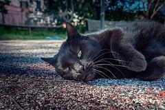 Spuntarello (Pepenera) Tags: cat cats gatto gato gatti blackbeauty blackcat