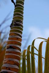 just a tree (thomas.erskine) Tags: 20190227dsc02562teelev 2019 feb barbados palm tree
