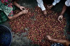 Các thành viên của Cooperativa Renacimiento phân loại cà phê, Tại Aldea Xojola,Guatemala (ngtghaivan.amg) Tags: altiplano guatemala coffee coffeebean primecoffee organiccoffee