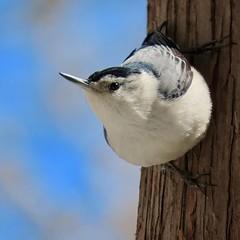 I smell spring! (Meryl Raddatz) Tags: nuthatch bird nature naturephotography
