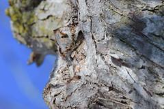 Qui est là? (jlf_photo) Tags: wildlife wild quebec canada eastern screech owl bird animal tree