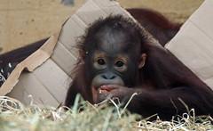 orangutan Sabbar Ouwehands 094A0141 (j.a.kok) Tags: orangutan orang orangoetan animal aap ape asia azie mammal monkey mensaap primate primaat zoogdier dier sabbar ouwehands