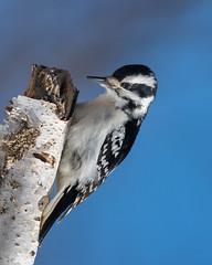 Ms Downy Woodpecker-46390.jpg (Mully410 * Images) Tags: female birdwatching birding backyard woodpecker bird birds downywoodpecker birder bluesky