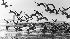 Andreas scares the seagulls on comand - C B&W (Drummerdelight) Tags: blackwhite seagulls freeze beach seaside